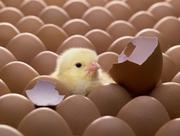 Куплю инкубационные яйца кур