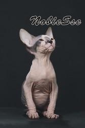 голые котята донского сфинкса