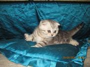 Шотландские вислоухие котята и страйты,  черный мрамор на серебре