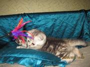 Шотландские вислоухие котята,  черный мрамор на серебре