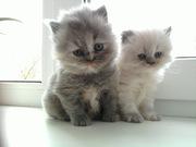 Продам котят персов