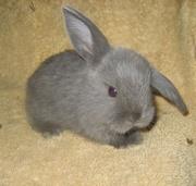 карликовый кролик-мы помагаем найти друга!
