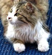 Продам красивую умную кошечку