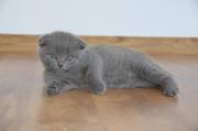 Шотландские вислоухие и прямоухие котята,  Сумы