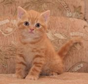 Чистокровные британские котята редких окрасов